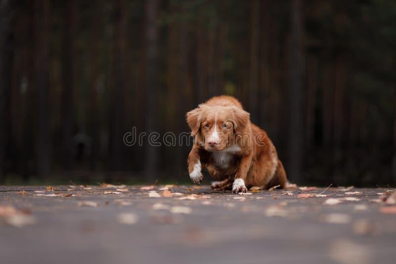 Retriever διοδίων παπιών της Νέας Σκοτίας σκυλιών βρίσκεται σε ένα κομμάτι του ξύλου στοκ εικόνα με δικαίωμα ελεύθερης χρήσης