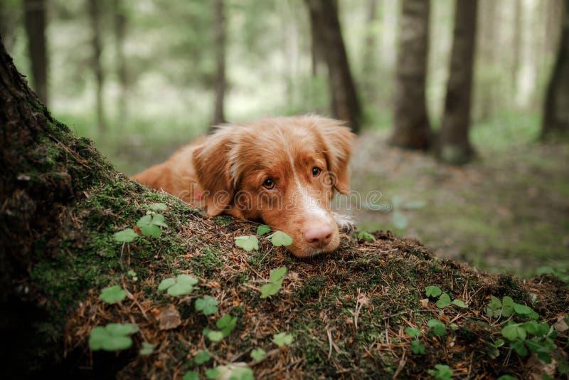 Retriever διοδίων παπιών της Νέας Σκοτίας σκυλιών βρίσκεται στο βρύο στοκ εικόνα