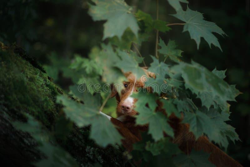 Retriever διοδίων παπιών της Νέας Σκοτίας σκυλιών για τα φύλλα δέντρων στοκ εικόνες