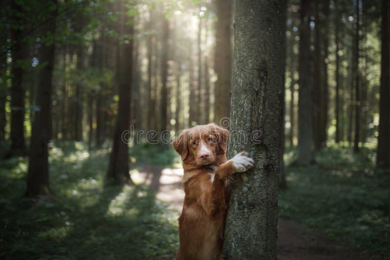 Retriever διοδίων παπιών της Νέας Σκοτίας σκυλιών είναι πόδια στο δέντρο στοκ εικόνα