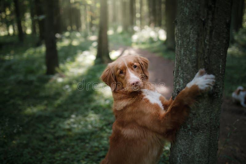 Retriever διοδίων παπιών της Νέας Σκοτίας σκυλιών είναι πόδια στο δέντρο στοκ εικόνες