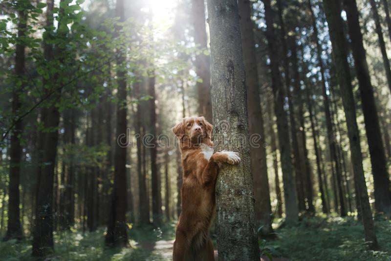 Retriever διοδίων παπιών της Νέας Σκοτίας σκυλιών είναι πόδια στο δέντρο στοκ φωτογραφίες με δικαίωμα ελεύθερης χρήσης