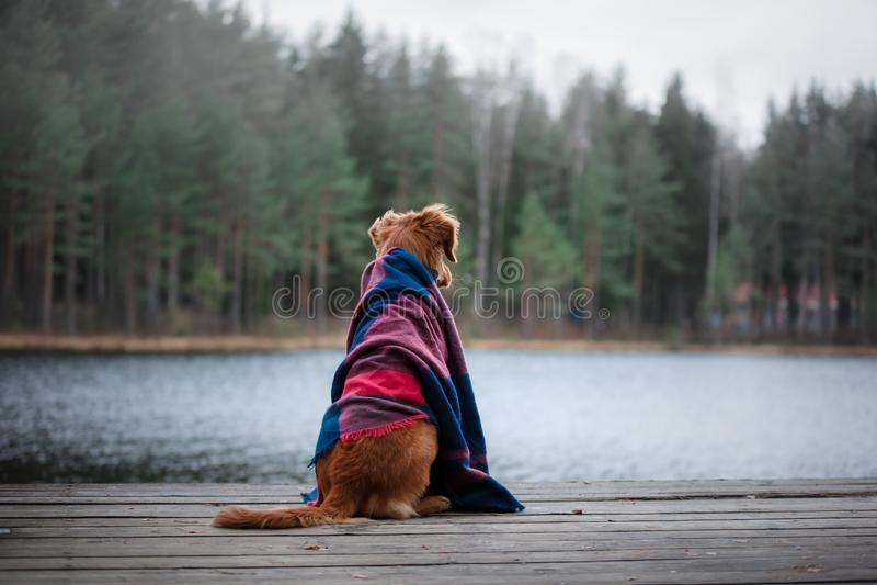 Retriever διοδίων παπιών της Νέας Σκοτίας σκυλιών κάθεται κάτω από ένα κάλυμμα στοκ φωτογραφία με δικαίωμα ελεύθερης χρήσης