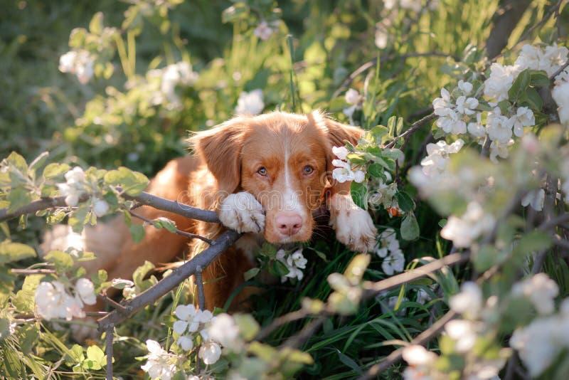 Retriever διοδίων παπιών της Νέας Σκοτίας σκυλιών και ανθίζοντας δέντρο της Apple στοκ φωτογραφίες με δικαίωμα ελεύθερης χρήσης