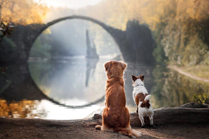 Retriever διοδίων παπιών της Νέας Σκοτίας σκυλιών και τεριέ του Jack Russell στοκ φωτογραφίες με δικαίωμα ελεύθερης χρήσης