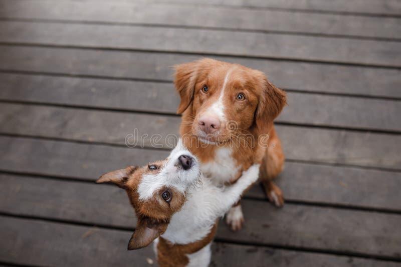 Retriever διοδίων παπιών της Νέας Σκοτίας σκυλιών και τεριέ του Jack Russell στοκ εικόνα με δικαίωμα ελεύθερης χρήσης