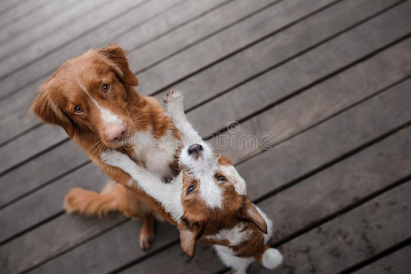 Retriever διοδίων παπιών της Νέας Σκοτίας σκυλιών και τεριέ του Jack Russell στοκ εικόνες