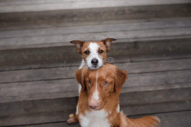 Retriever διοδίων παπιών της Νέας Σκοτίας σκυλιών και τεριέ του Jack Russell στοκ φωτογραφία με δικαίωμα ελεύθερης χρήσης