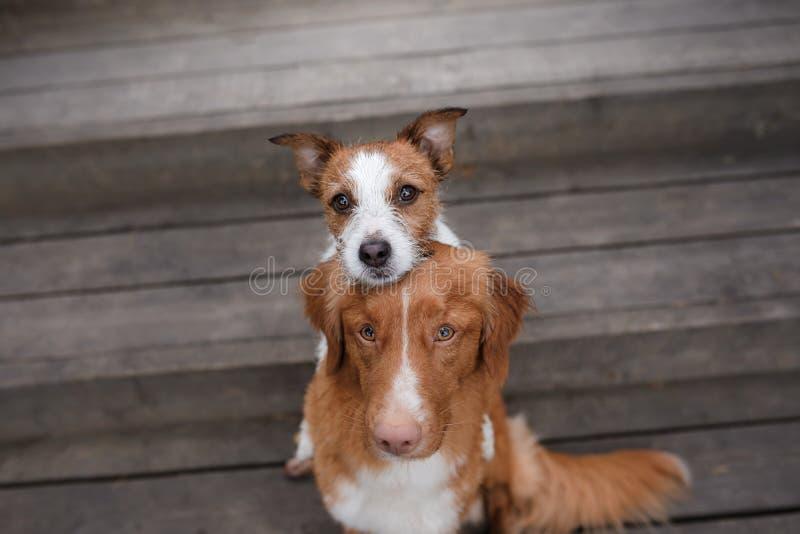Retriever διοδίων παπιών της Νέας Σκοτίας σκυλιών και τεριέ του Jack Russell στοκ φωτογραφίες