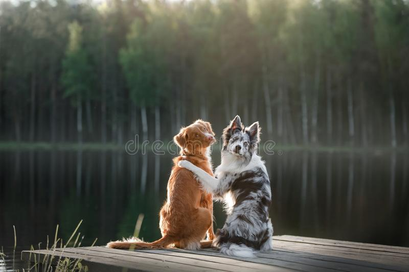 Retriever διοδίων παπιών της Νέας Σκοτίας σκυλιών και το κόλλεϊ συνόρων επάνω στοκ φωτογραφία με δικαίωμα ελεύθερης χρήσης