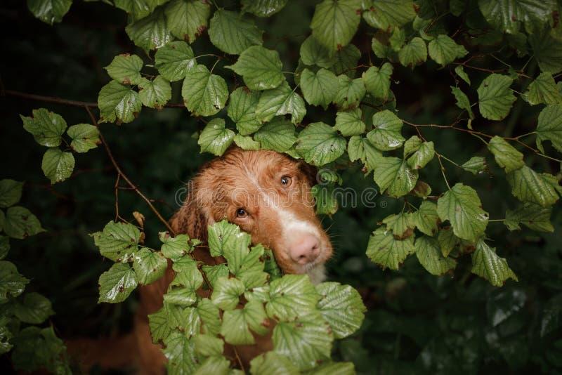 Retriever διοδίων παπιών της Νέας Σκοτίας σκυλιών κρύψιμο από τη βροχή στοκ φωτογραφία