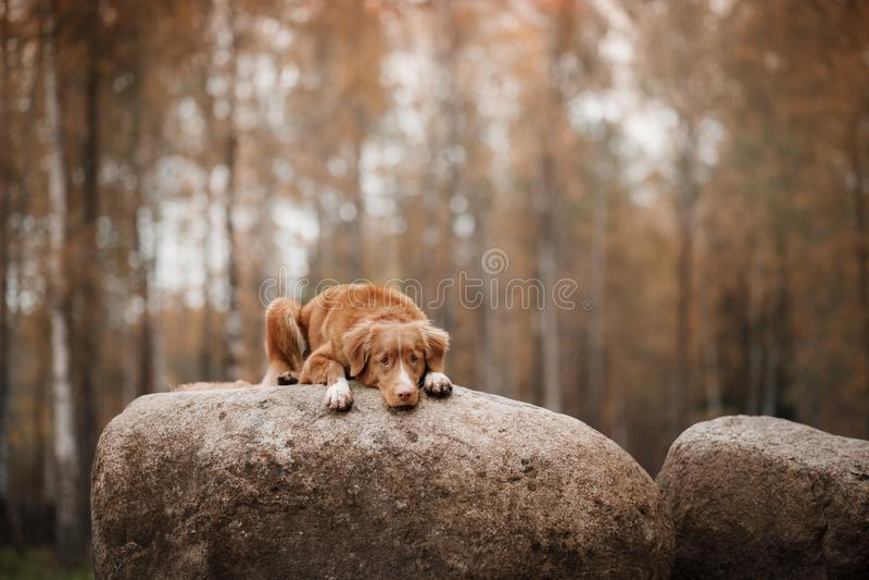 Retriever διοδίων παπιών της Νέας Σκοτίας σκυλιών που βρίσκεται στην πέτρα στοκ εικόνα με δικαίωμα ελεύθερης χρήσης