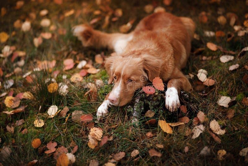 Retriever διοδίων παπιών της Νέας Σκοτίας σκυλιών που βρίσκεται στη χλόη στοκ φωτογραφίες με δικαίωμα ελεύθερης χρήσης