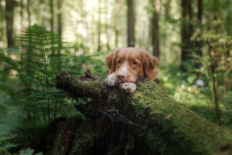 Retriever διοδίων παπιών της Νέας Σκοτίας σκυλιών που κρυφοκοιτάζει γύρω από το κολόβωμα στοκ εικόνα