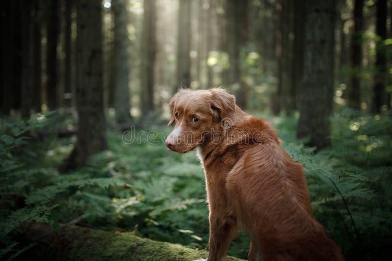 Retriever διοδίων παπιών της Νέας Σκοτίας σκυλιών που στέκεται σε ένα πεσμένο δέντρο στοκ φωτογραφίες