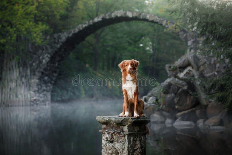 Retriever διοδίων παπιών της Νέας Σκοτίας σκυλιών σε ένα υπόβαθρο είναι στοκ φωτογραφίες με δικαίωμα ελεύθερης χρήσης