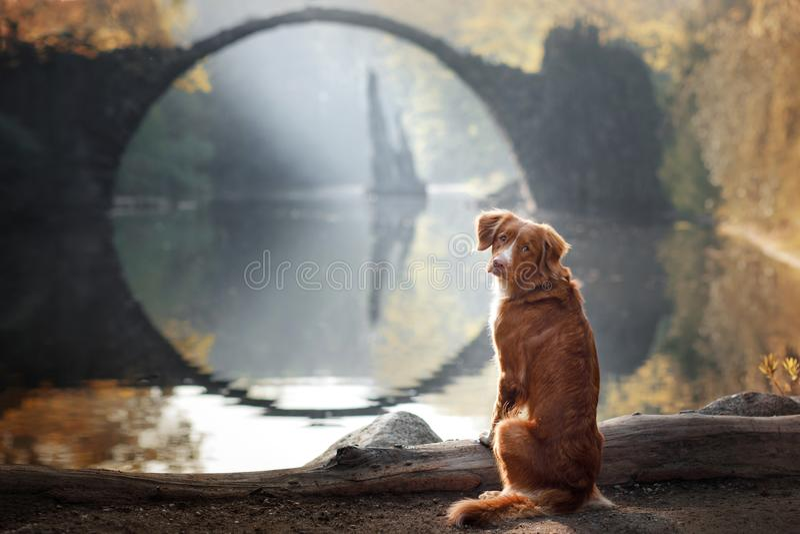 Retriever διοδίων παπιών της Νέας Σκοτίας σκυλιών σε ένα υπόβαθρο είναι στοκ φωτογραφία με δικαίωμα ελεύθερης χρήσης