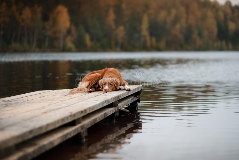 Retriever διοδίων παπιών της Νέας Σκοτίας σκυλιών σε μια ξύλινη αποβάθρα στοκ εικόνες
