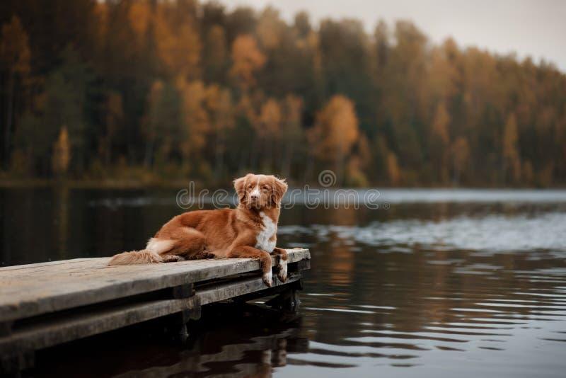 Retriever διοδίων παπιών της Νέας Σκοτίας σκυλιών σε μια ξύλινη αποβάθρα στοκ εικόνες με δικαίωμα ελεύθερης χρήσης