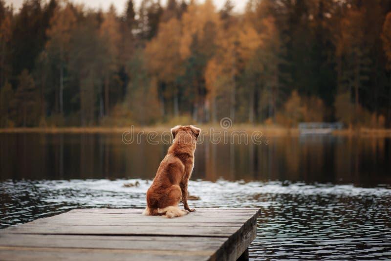 Retriever διοδίων παπιών της Νέας Σκοτίας σκυλιών σε μια ξύλινη αποβάθρα στοκ φωτογραφίες με δικαίωμα ελεύθερης χρήσης