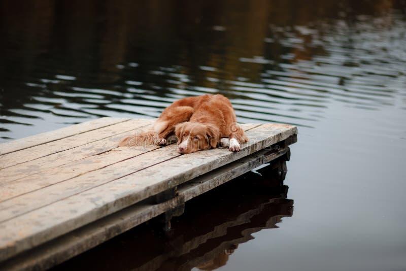 Retriever διοδίων παπιών της Νέας Σκοτίας σκυλιών σε μια ξύλινη αποβάθρα στοκ φωτογραφία