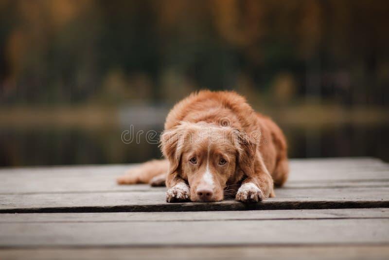 Retriever διοδίων παπιών της Νέας Σκοτίας σκυλιών σε μια ξύλινη αποβάθρα στοκ εικόνα με δικαίωμα ελεύθερης χρήσης