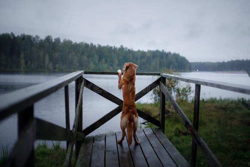 Retriever διοδίων παπιών της Νέας Σκοτίας σκυλιών σε μια ξύλινη αποβάθρα στοκ φωτογραφία με δικαίωμα ελεύθερης χρήσης