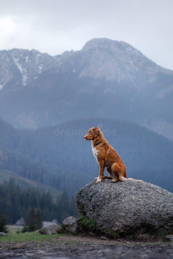 Retriever διοδίων παπιών της Νέας Σκοτίας σκυλιών στα βουνά στοκ φωτογραφία με δικαίωμα ελεύθερης χρήσης