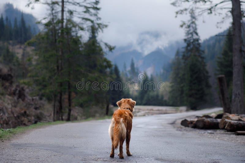 Retriever διοδίων παπιών της Νέας Σκοτίας σκυλιών στα βουνά στοκ εικόνες