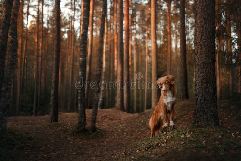 Retriever διοδίων παπιών της Νέας Σκοτίας σκυλιών στα ξύλα κάτω από ένα δέντρο στοκ φωτογραφία