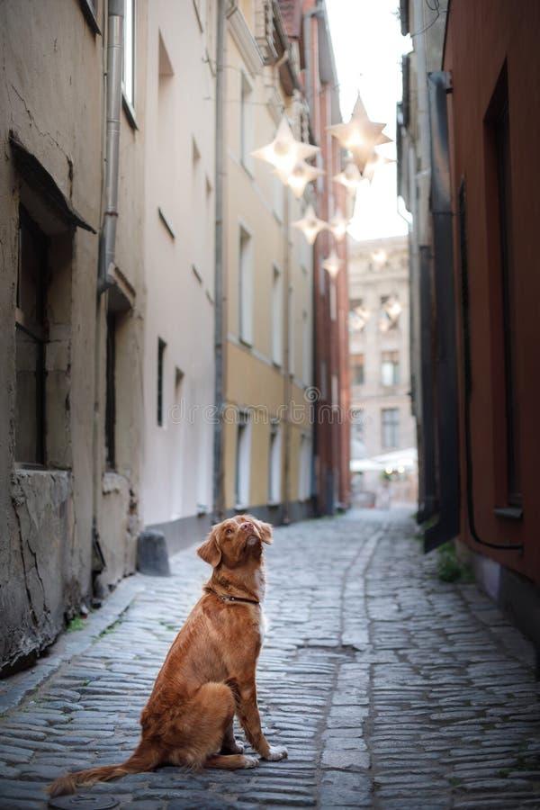 Retriever διοδίων παπιών της Νέας Σκοτίας σκυλιών στην παλαιά πόλη στοκ εικόνες