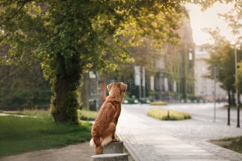 Retriever διοδίων παπιών της Νέας Σκοτίας σκυλιών στην παλαιά πόλη στοκ εικόνα