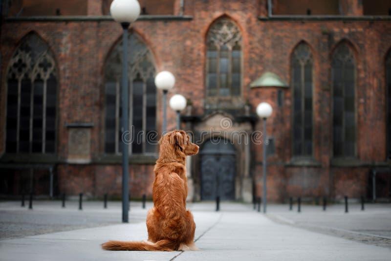 Retriever διοδίων παπιών της Νέας Σκοτίας σκυλιών στην παλαιά πόλη στοκ εικόνες με δικαίωμα ελεύθερης χρήσης