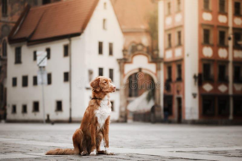 Retriever διοδίων παπιών της Νέας Σκοτίας σκυλιών στην παλαιά πόλη στοκ εικόνα με δικαίωμα ελεύθερης χρήσης