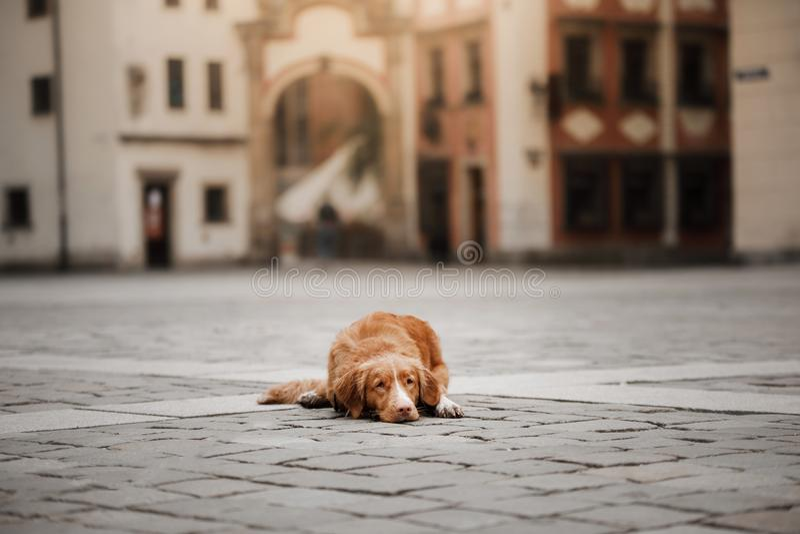Retriever διοδίων παπιών της Νέας Σκοτίας σκυλιών στην παλαιά πόλη στοκ φωτογραφία με δικαίωμα ελεύθερης χρήσης