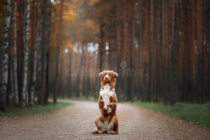 Retriever διοδίων παπιών της Νέας Σκοτίας σκυλιών στην πορεία στοκ εικόνες