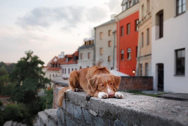 Retriever διοδίων παπιών της Νέας Σκοτίας σκυλιών στην πόλη στοκ εικόνες με δικαίωμα ελεύθερης χρήσης