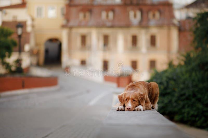 Retriever διοδίων παπιών της Νέας Σκοτίας σκυλιών στην πόλη στοκ εικόνα