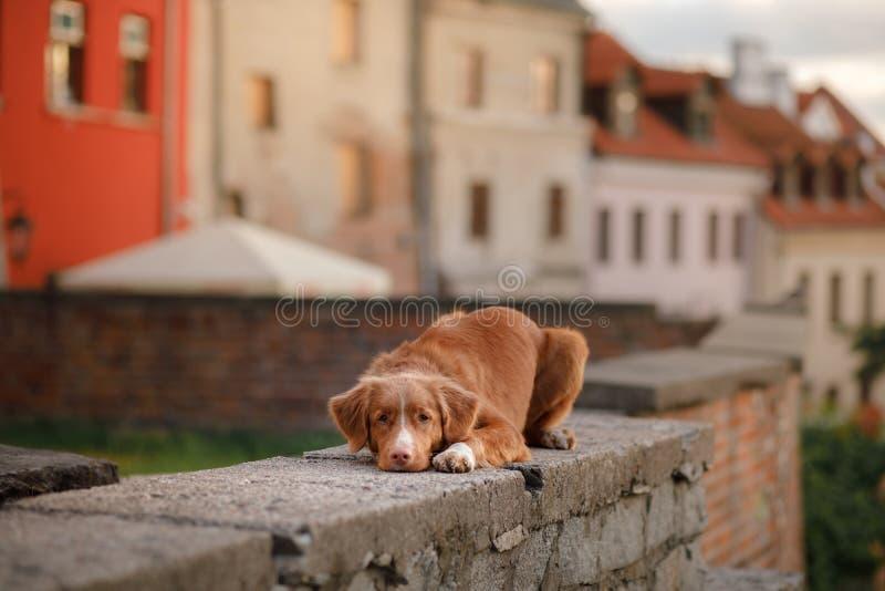 Retriever διοδίων παπιών της Νέας Σκοτίας σκυλιών στην πόλη στοκ φωτογραφία με δικαίωμα ελεύθερης χρήσης