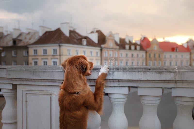 Retriever διοδίων παπιών της Νέας Σκοτίας σκυλιών στην πόλη στοκ φωτογραφίες με δικαίωμα ελεύθερης χρήσης