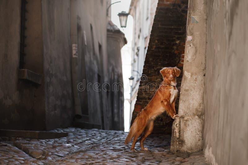 Retriever διοδίων παπιών της Νέας Σκοτίας σκυλιών στην πόλη στοκ εικόνες