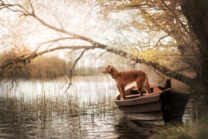 Retriever διοδίων παπιών της Νέας Σκοτίας σκυλιών στη βάρκα στοκ φωτογραφία με δικαίωμα ελεύθερης χρήσης