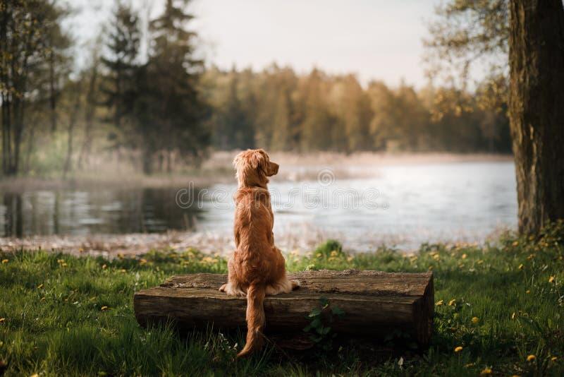 Retriever διοδίων παπιών της Νέας Σκοτίας σκυλιών στη λίμνη στοκ εικόνες