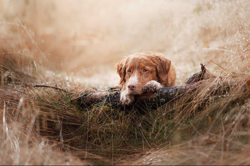 Retriever διοδίων παπιών της Νέας Σκοτίας σκυλιών στον τομέα στοκ φωτογραφίες με δικαίωμα ελεύθερης χρήσης