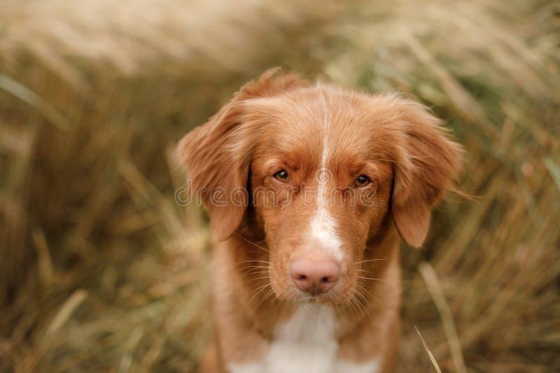 Retriever διοδίων παπιών της Νέας Σκοτίας σκυλιών στον τομέα στοκ εικόνα με δικαίωμα ελεύθερης χρήσης