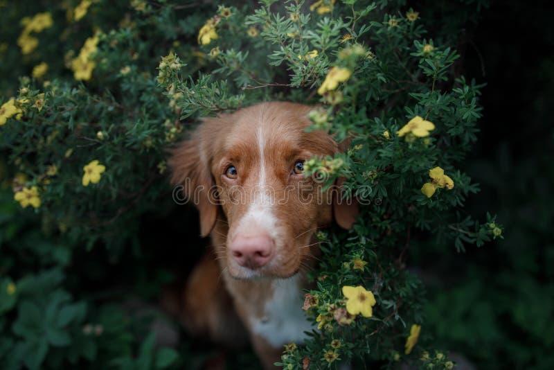 Retriever διοδίων παπιών της Νέας Σκοτίας σκυλιών στο δάσος στοκ εικόνες με δικαίωμα ελεύθερης χρήσης