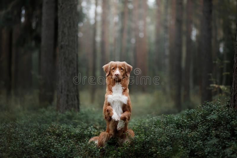 Retriever διοδίων παπιών της Νέας Σκοτίας σκυλιών στο δάσος στοκ φωτογραφίες