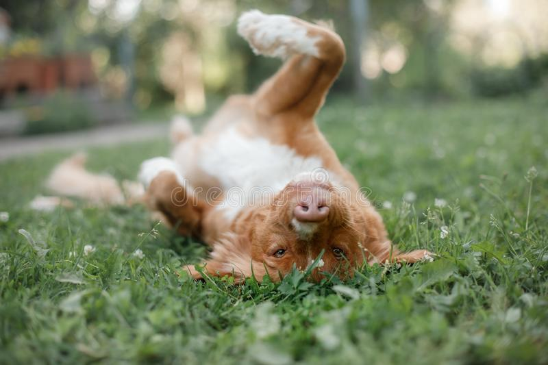 Retriever διοδίων παπιών της Νέας Σκοτίας σκυλιών στο πάρκο στοκ εικόνες