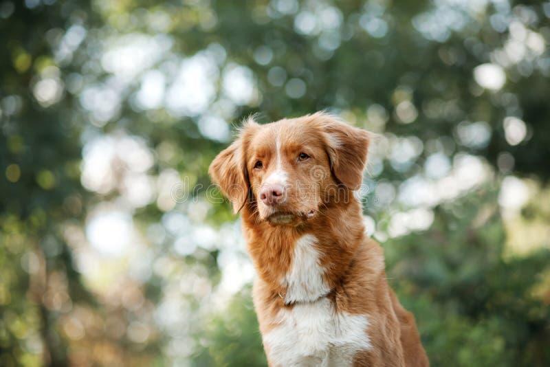 Retriever διοδίων παπιών της Νέας Σκοτίας σκυλιών στο πάρκο στοκ φωτογραφία με δικαίωμα ελεύθερης χρήσης