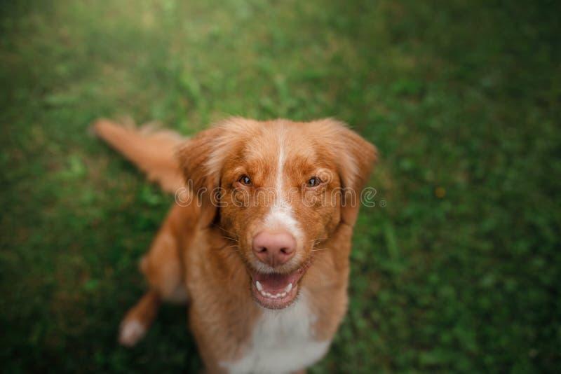 Retriever διοδίων παπιών της Νέας Σκοτίας σκυλιών συνεδρίαση στη χλόη στοκ εικόνες με δικαίωμα ελεύθερης χρήσης